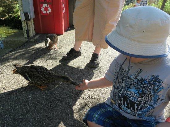 York's Wild Kingdom Zoo and Fun Park : Feeding the ducks.