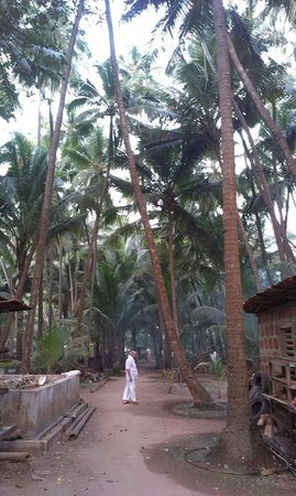Osari Homestay: Coconut plantation at Osari