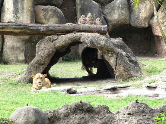 La Aurora Zoo: Leoa, linda demais!