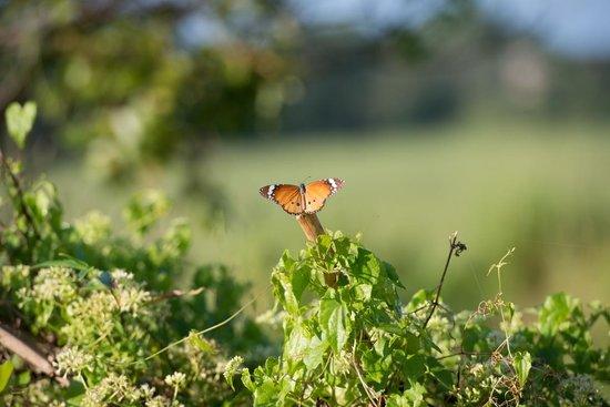 Uga Ulagalla : Butterfly