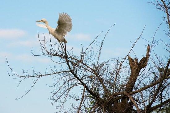 Uga Ulagalla : Egret