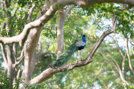 Uga Ulagalla : Peacock