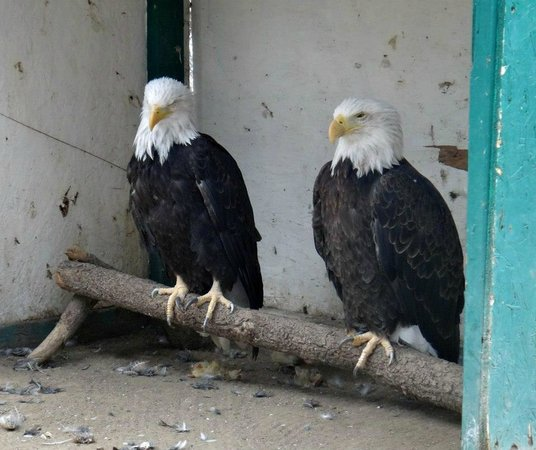 Big Bear Alpine Zoo at Moonridge: Rescued Bald Eagles