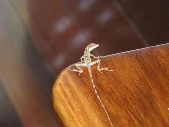 Geckoes Lodge: One of the friendly Geckoes