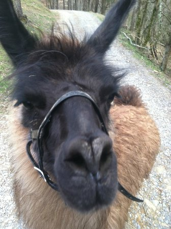 Twin Valley Bed and Breakfast and Horse Ranch: Nutmeg-curious llama