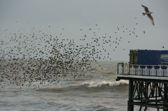 Brighton Palace Pier : starling approaching Pier