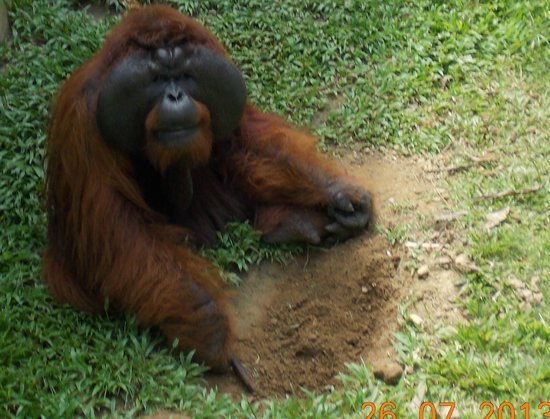 Matang Wildlife Centre: this big male had cataracts for twenty years till they operated now he misses nothing