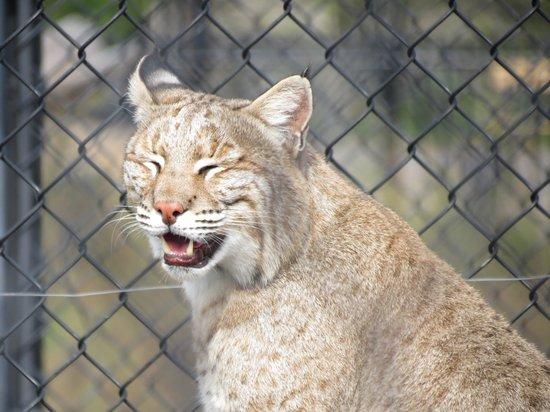 Pine Grove Zoo : Bobcat.