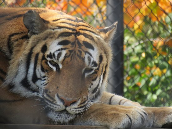 Pine Grove Zoo : Tiger.