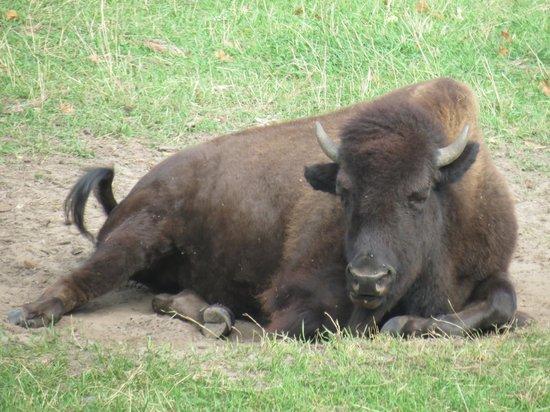 Pine Grove Zoo : Bison.