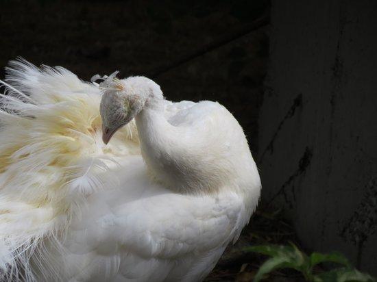 Pine Grove Zoo : Peacock.