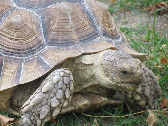 Pine Grove Zoo : Tortoise.