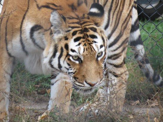 Pine Grove Zoo: Tiger.