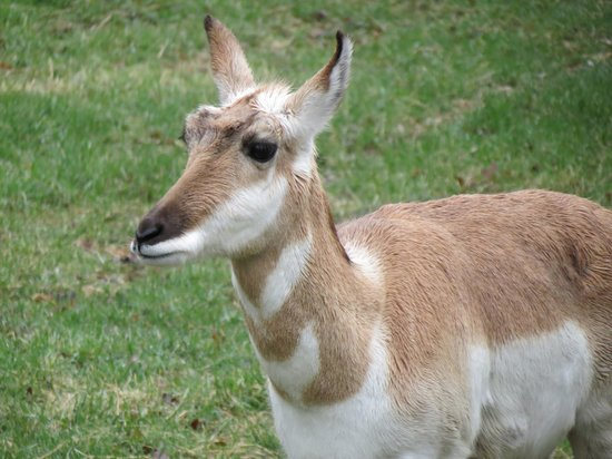 Pine Grove Zoo: Pronghorn.