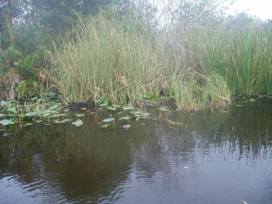 Gator Park: the only gator we saw - a baby - can you find it???