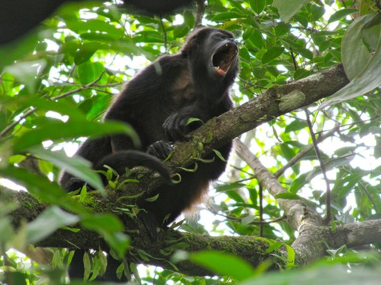 Hospedaje El Bosquecito: Our neighbors: Howler monkeys...