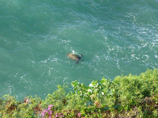 Sheraton Maui Resort & Spa : Turtle playing right under the Lanai