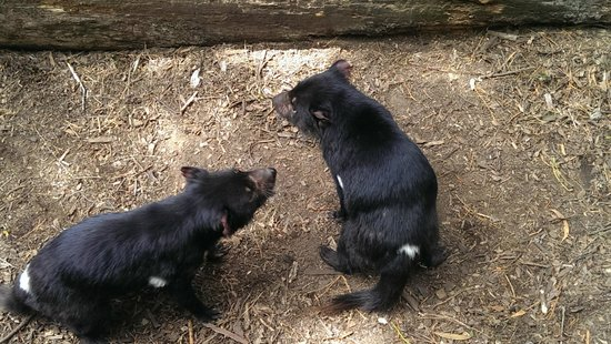 Tasmanian Devil Unzoo: Devil Feeding time