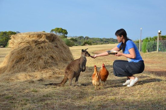 Eleanor River Homestead - Kangaroo Island : Feeding the kangaroos on the Homestead