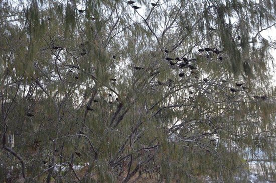Heron Island Resort: Trees with a million birds