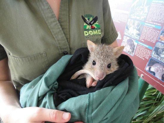 Cairns ZOOM and Wildlife Dome: ネズミカンガルーの赤ちゃん