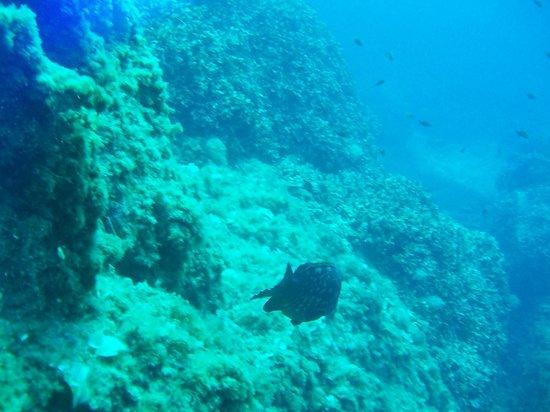 Port Frejus Plongee: Mérou