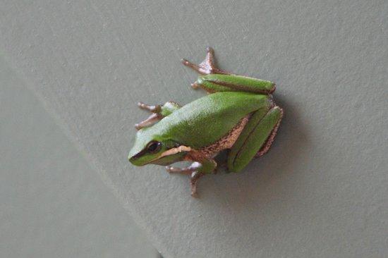 Crabbes Creek Cottages: Sedge frog on our front verandah