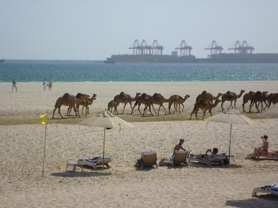 Hilton Salalah: Sunbathers, camels and the port in the distance.....