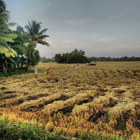 Thevercad Homestay: rice fields being harvested