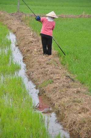 Water Buffalo Tours: Ha took us right into the middle of a rice paddy field