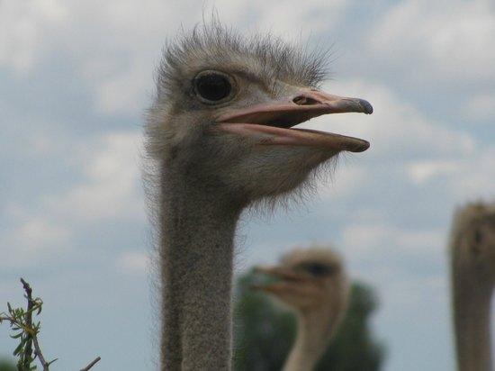Safari Ostrich Show Farm : Ostrich Fun