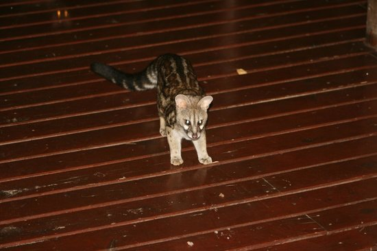Punda Maria Restcamp: Small spotted genet