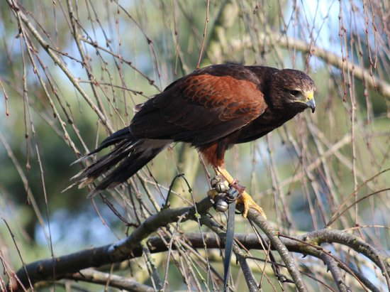 Stockley Farm Birds of Prey Centre: Harris Hawk