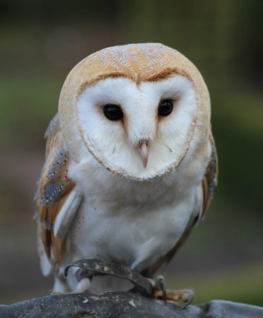 Stockley Farm Birds of Prey Centre: Barn Owl