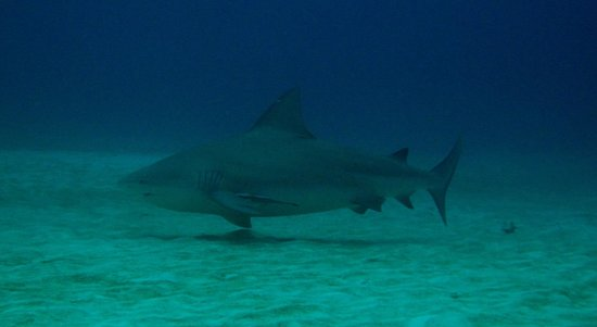 Phocea Mexico: requin bouledogue
