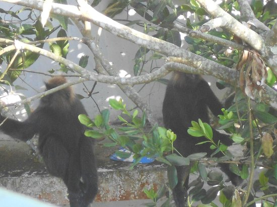 Kerala House : Lion tailed macaque