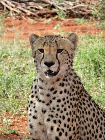 Etali Safari Lodge: Cheetah - amazing sightings!