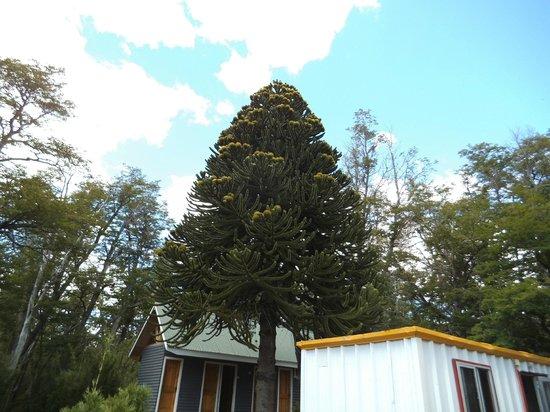 Rotonda del Cautin: Araucaria en el parque de la Rotonda