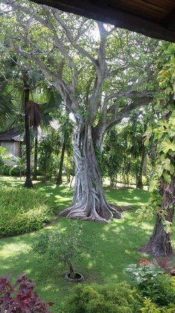 Club Med Bali : a fabulous tree in the gardens