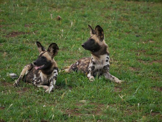 Mosetlha Bush Camp & Eco Lodge: Wild Dogs