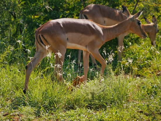 Mosetlha Bush Camp & Eco Lodge: Impalas
