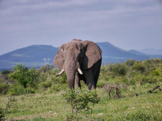 Mosetlha Bush Camp & Eco Lodge : Elephant