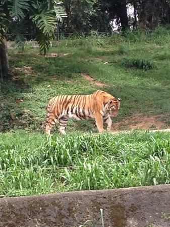 Sao Paulo Zoo : Tigre