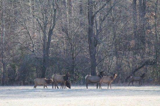Super 8 Cherokee: Elk on the parkway