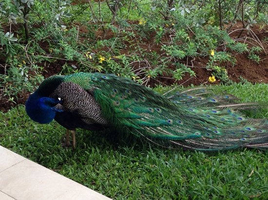 Secrets Wild Orchid Montego Bay: Resort peacock on patio