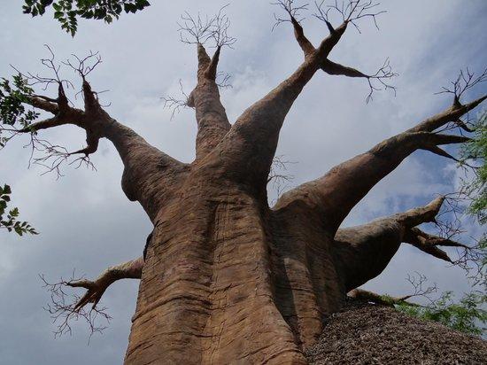 Bioparc Fuengirola: baobab