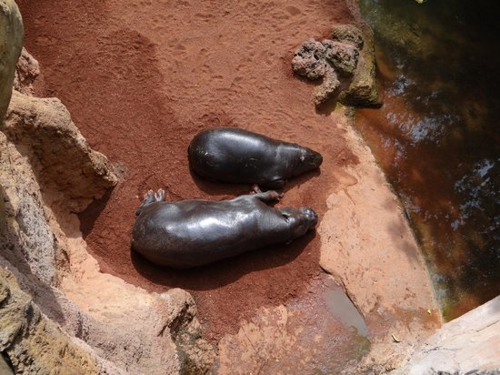 Bioparc Fuengirola: hipopotamo