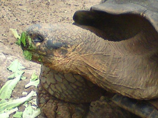 Bermuda Aquarium, Natural History Museum & Zoo: giant tortoise eating his lunch
