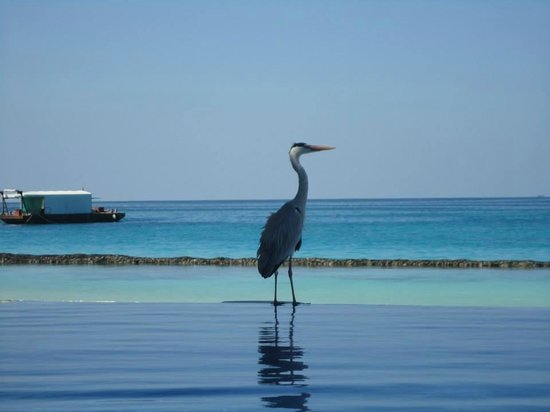 Kuramathi Island Resort: Piscina infinnity
