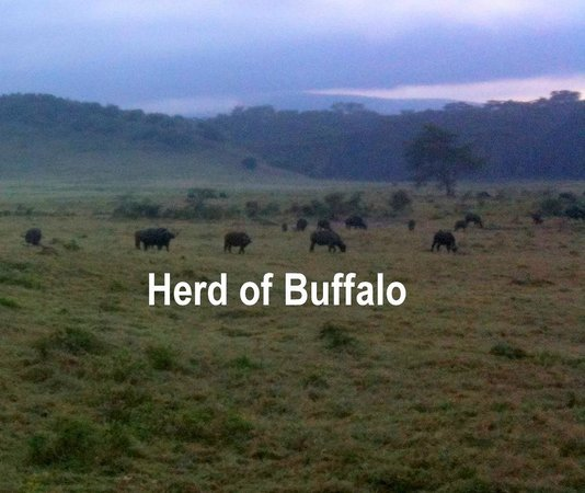 AsaRay Private Day Tours: Buffalo Herd